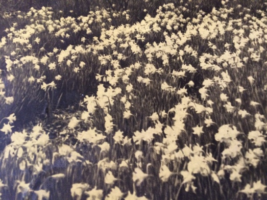 68. Jonquils in bloom, The garden of Mrs. Parker Rice, King at Church Streets (site of the Carmichael Funeral Home)I.PG.JPG